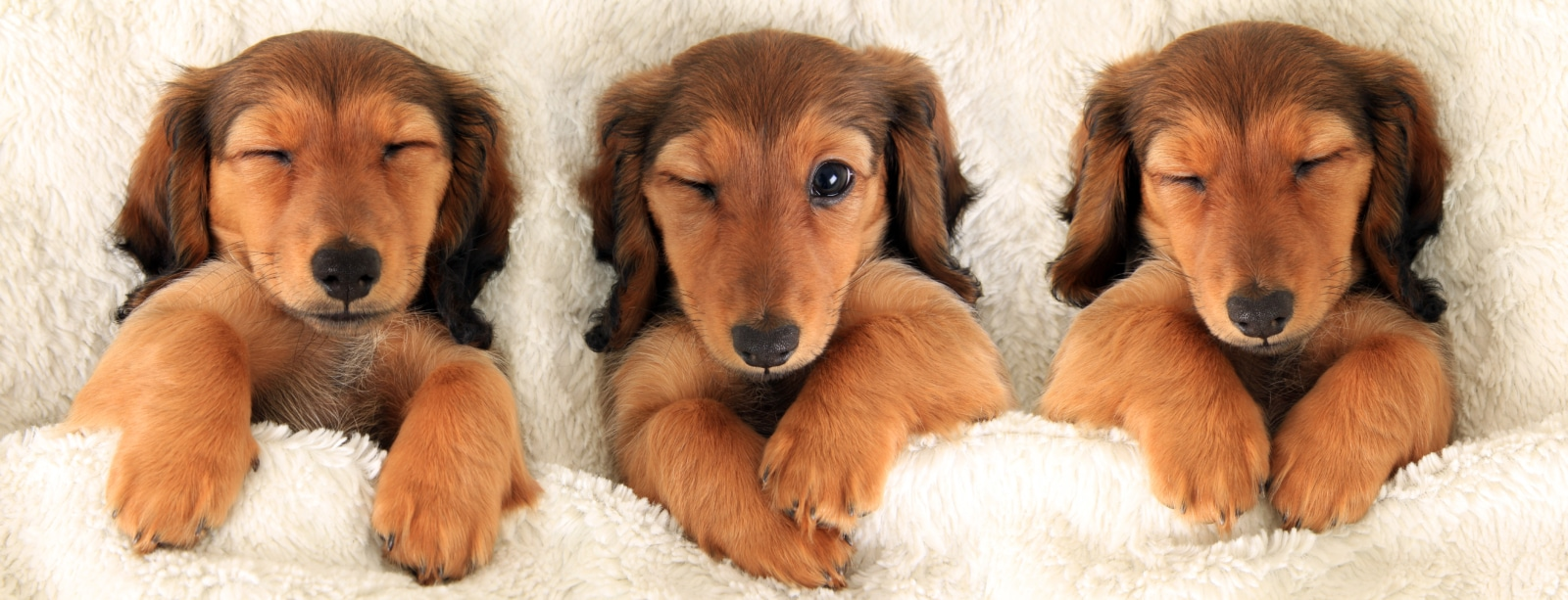 unique dachshund names