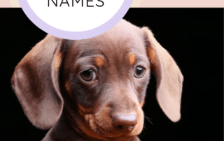 Ultimate Dachshund Care Guide Dachshund Station