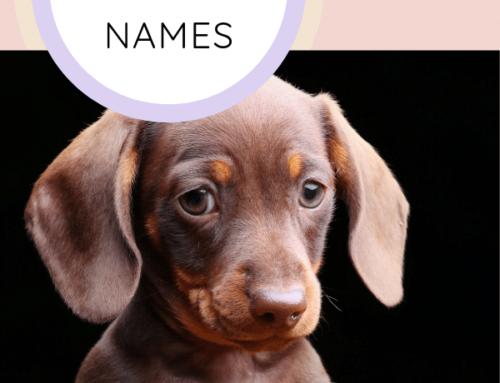 Top Unique Dachshund Names [2019]