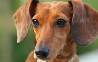 dachshund adoption