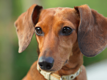 dachshund adoption