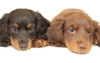 dachshund puppy proofing