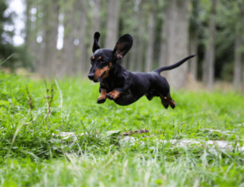 Dachshund Puppy Training: 4 Basic Commands & Separation Anxiety