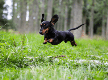 Dachshund Command Training