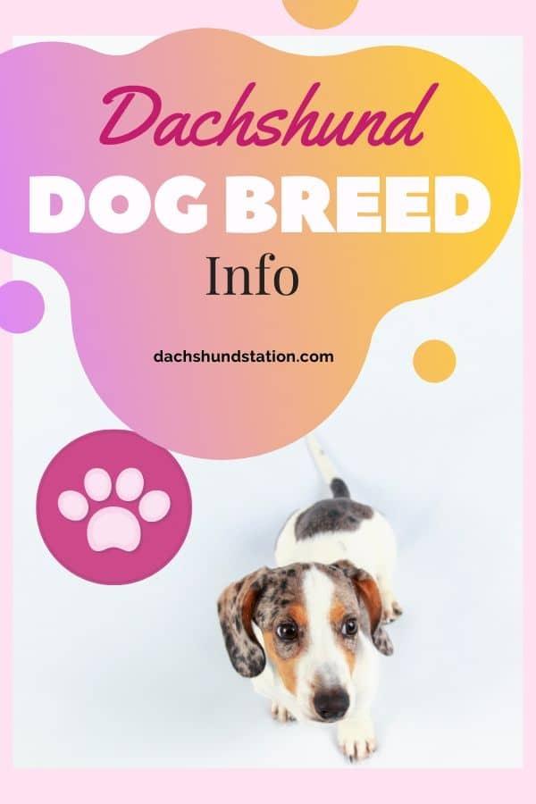 origin of the dachshund