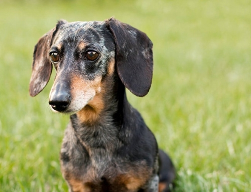 Origin of the Dachshund [History Temperament Weight Color]