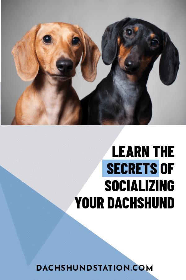 socializing your dachshund