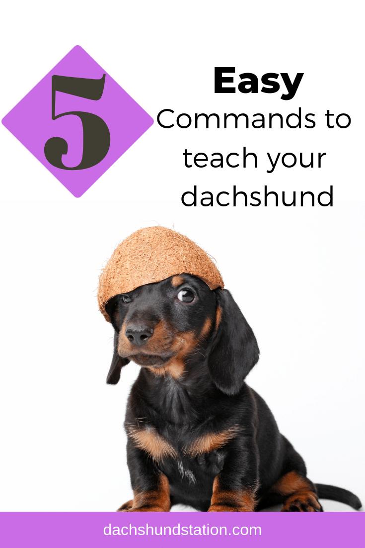 5 easy commands teach dachshund