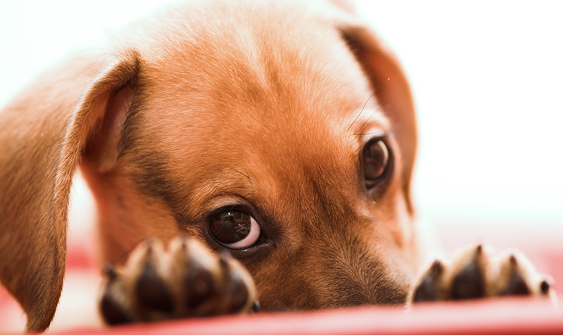 How to Stop Dachshund Behavior Problems