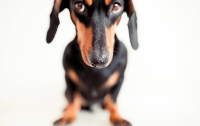 potty train your dachshund