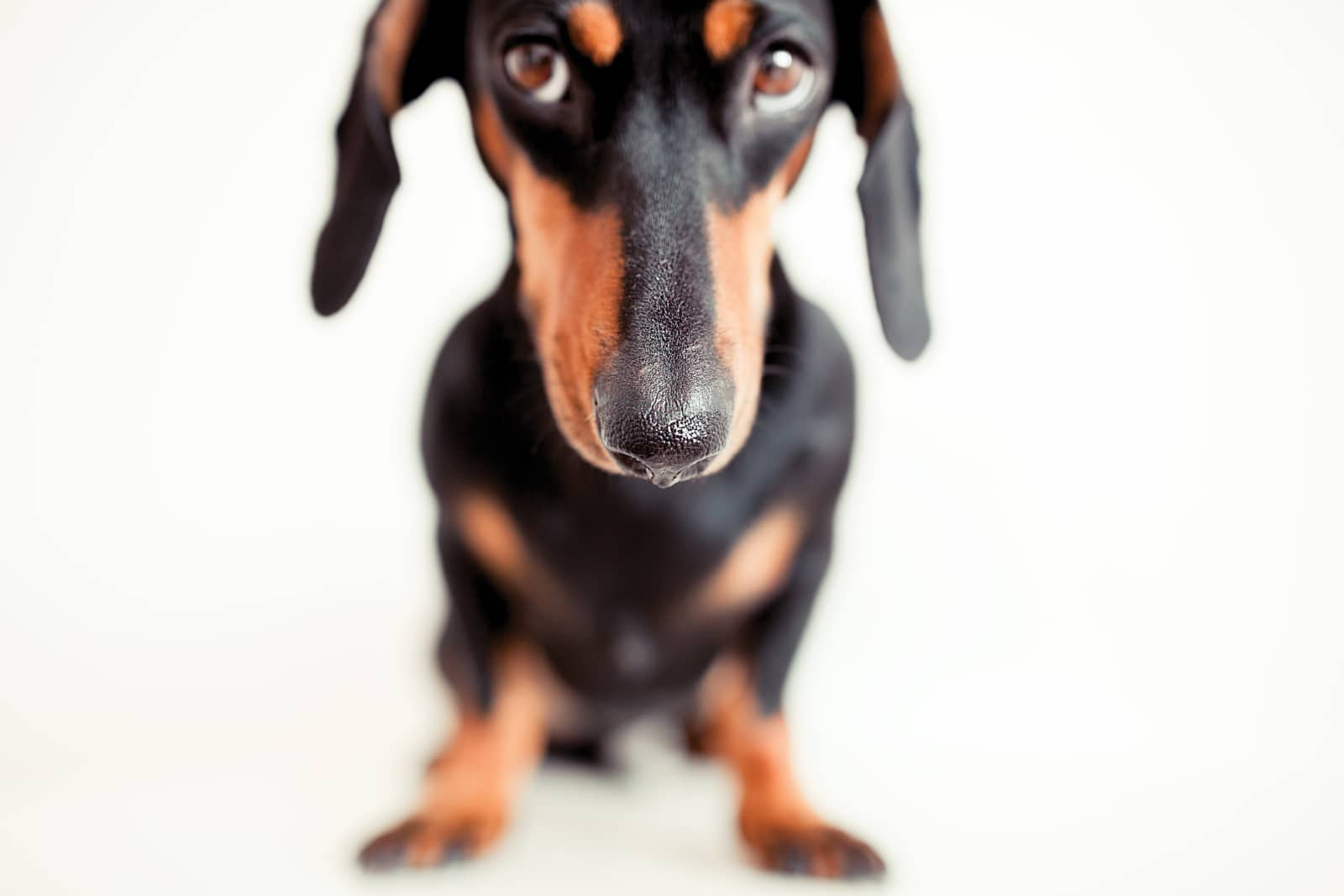Potty Training Guide For Your Dachshund