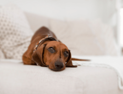 How to Stop Dachshund Behavior Problems | Training Tips