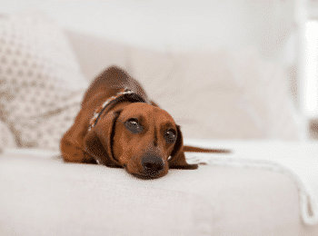 Stop Dachshund Behavior Problems
