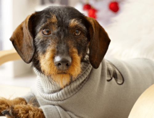 Top 6 Coats that Fit Dachshunds | Dog Jackets Doxie Sweater
