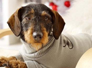 dachshund clothes