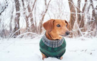 dachshund paws