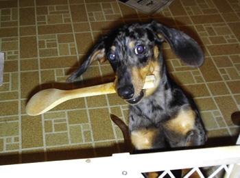 dachshund puppy potty training