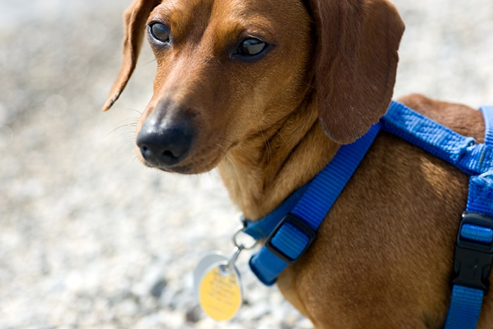Best Dog Harness For Dachshunds