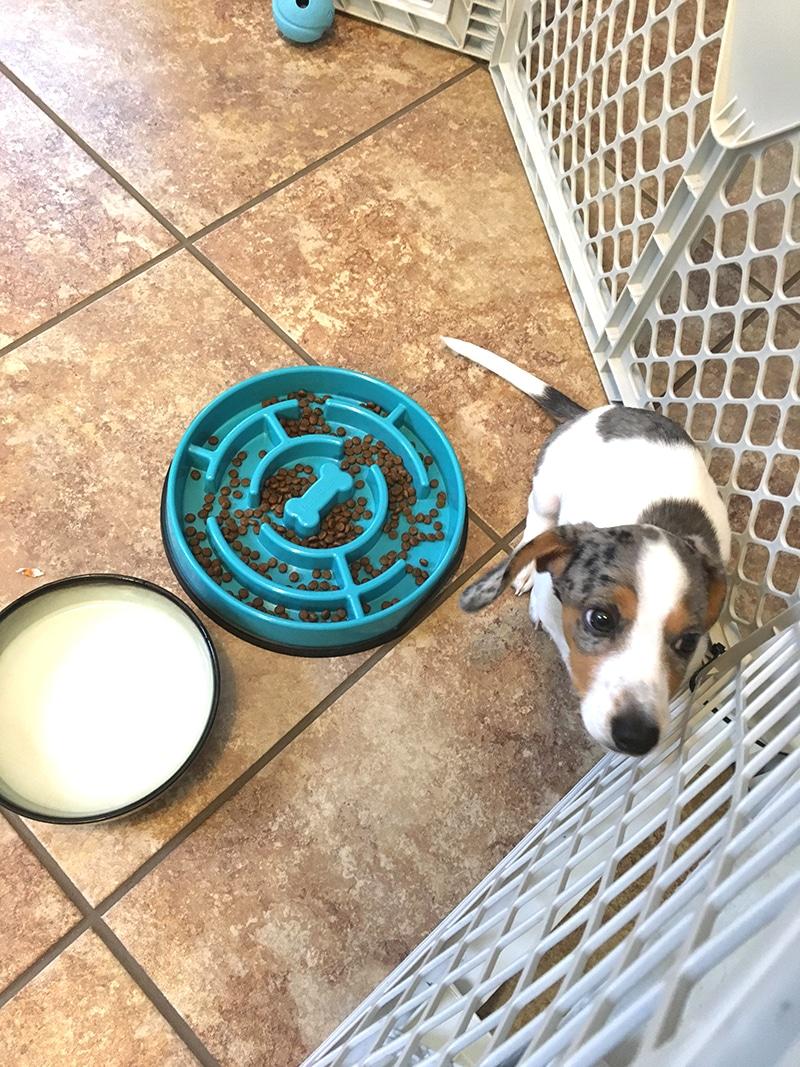 potty training dachshund playpen gates3