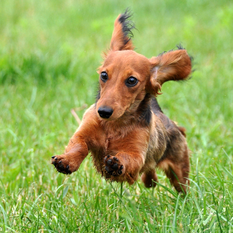 Wiener Dog Races in the USA | South & West