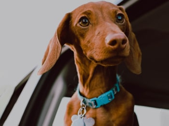 The Seat Belt Your Dog Needs