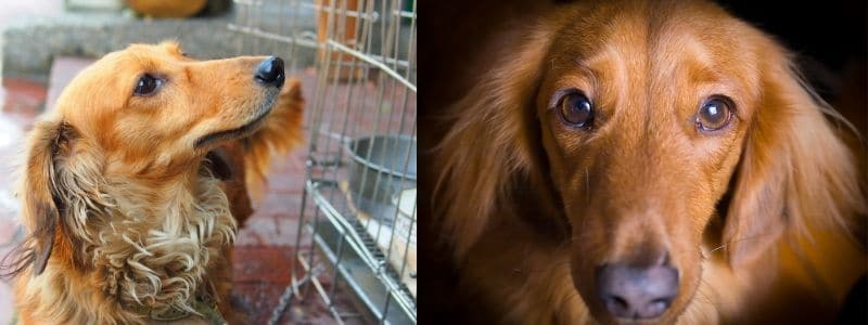 Top 90 Dachshund Rescues in the USA 1
