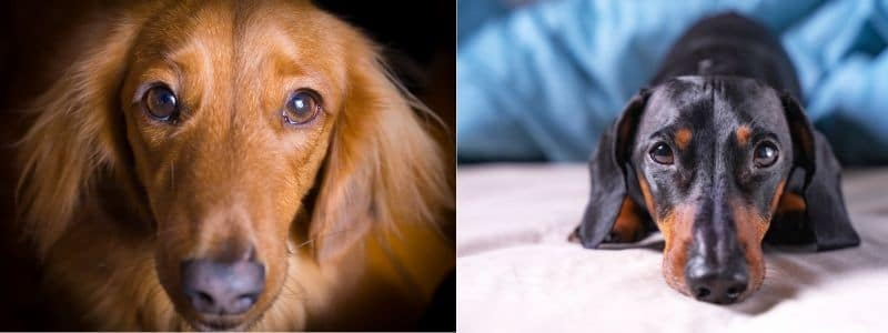 Top 90 Dachshund Rescues in the USA 2