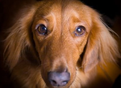 Top 90 Dachshund Rescues in the USA