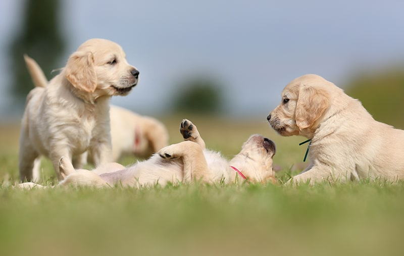 puppy socializing