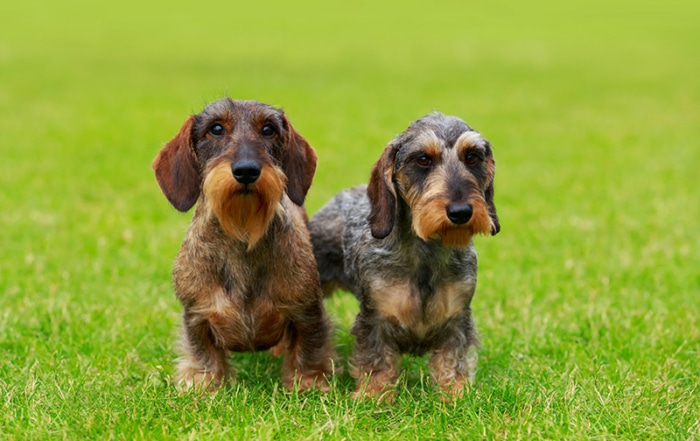 dachshund socialization