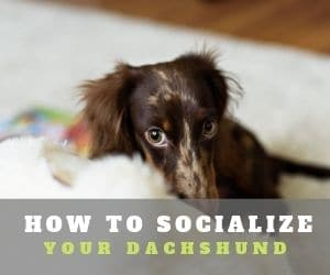 Socialize Your Dachshund