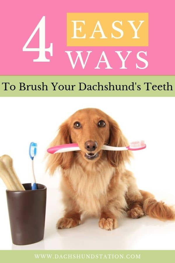 why do dachshunds have bad breath