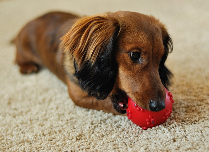 Surviving Dachshund Puppy Teething