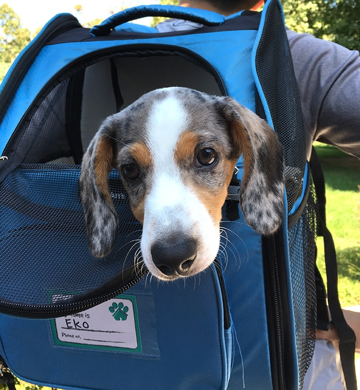 Best Dog Backpack for Miniature Dachshunds