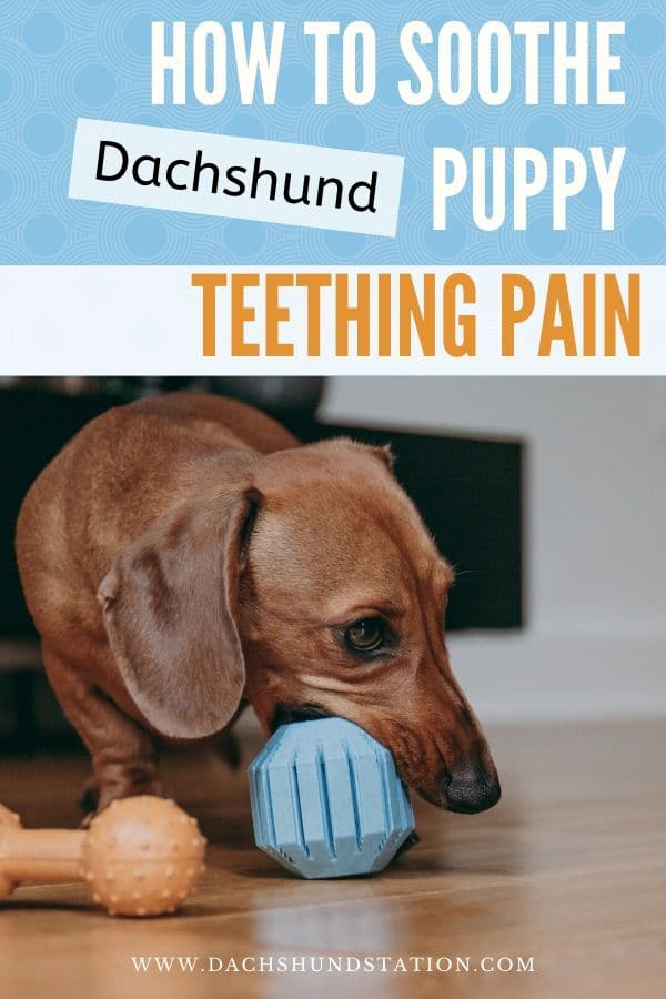 dachshund puppy teething