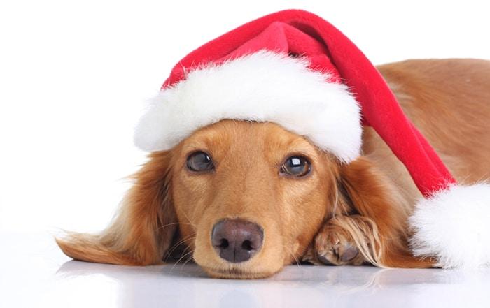 dachshund in santa hat