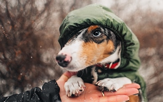 Dachshund Coats That Fit