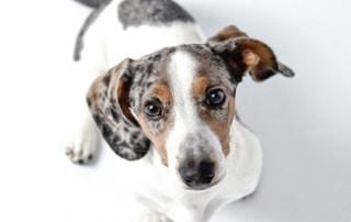 Adorable dachshund puppy_tn