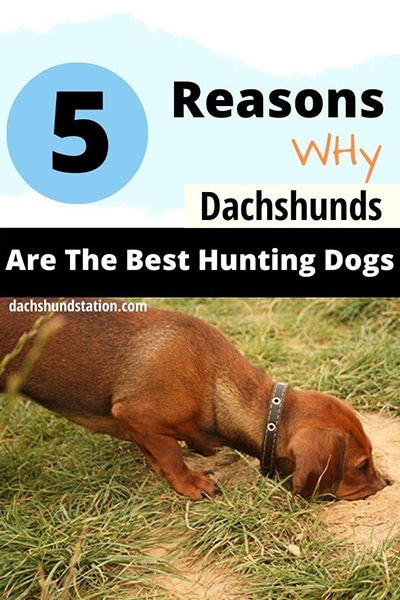 Are Dachshunds Still Used For Hunting?