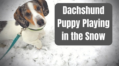 Dachshund puppy playing in the snow_sm
