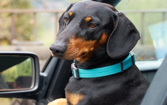 Best Dachshund Seat Belt
