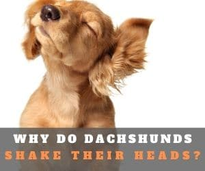 dachshund shaking head