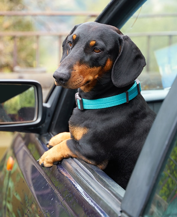 Seat Belts For Dachshunds