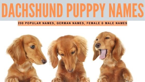 Best Dachshund Names