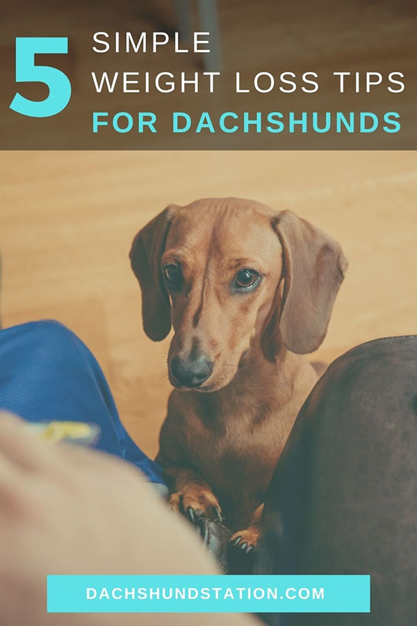 Weight Loss Tips for Dachshunds