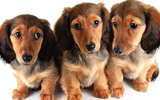 Easy Dachshund Puppy Training [Complete Guide]