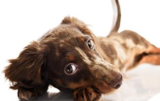 bored dachshund