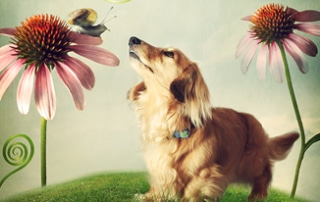 dachshund garden